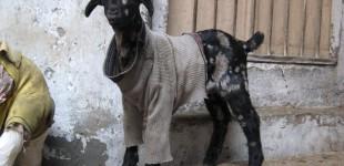goat10_