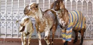 goat1_