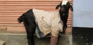 goat3_