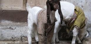 goat9_